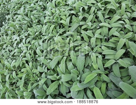 Green Leaves Of Sage. Sage Is An Aromatic Herb Ideal To Flavor D