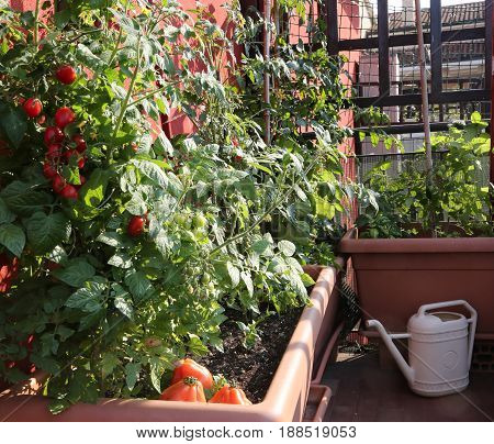 Tomato Cultivation In The Vases Of An Urban Garden On The Terrac