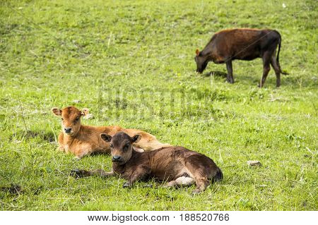A small calf lies on a green meadow on the back of other calves
