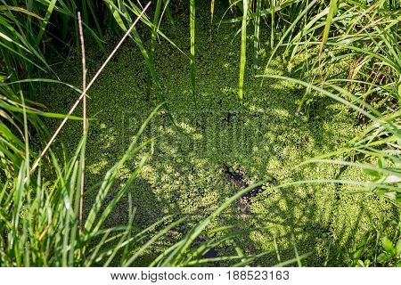 A small green duckweed on the surface of a forest river. A quiet creek overgrown with duckweed.