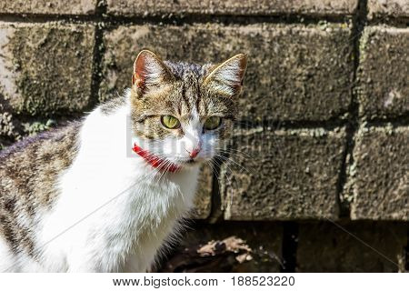 Domestic cat with a ribbon on the neck. A cat sits at a brick wall. Great expressive eyes.