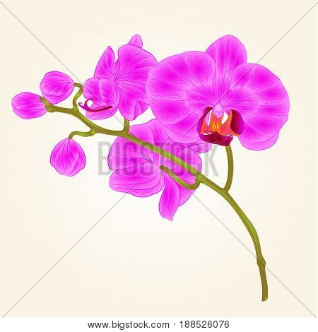 Branches orchid Phalaenopsis purple flowers tropical plants green stem and buds vintage hand draw vector botanical illustration for design