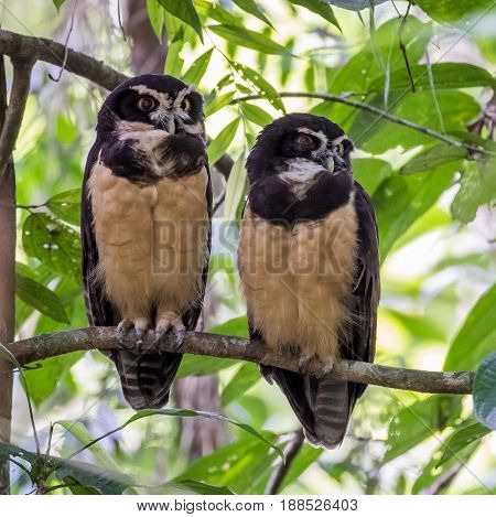 Pair of Spectacled Owls perched on a tree branch in Costa Rica