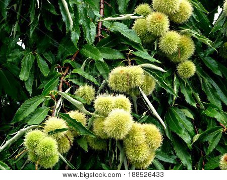 Chestnut tree with immature young chestnut fruit at sunny summer day.