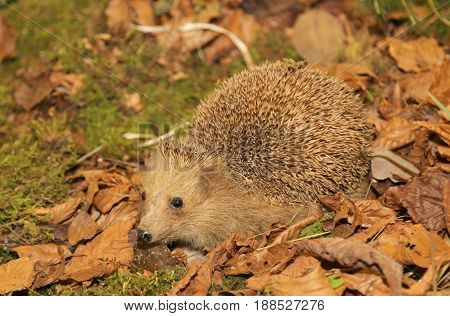 Hedgehog With Aculei In The Undergrowth In Autumn