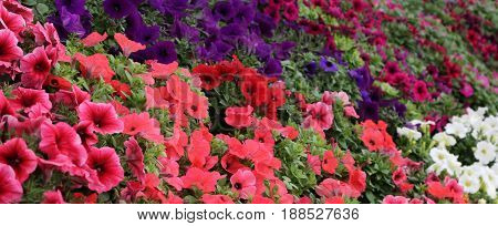 Red And Multicolored Petunia Flowers For Sale In The Greenhouse