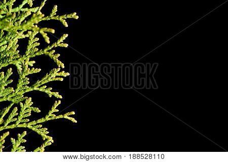 Sprig Of Thuja On The Left Side Of The Frame On A Black Isolated Background For Design Closeup