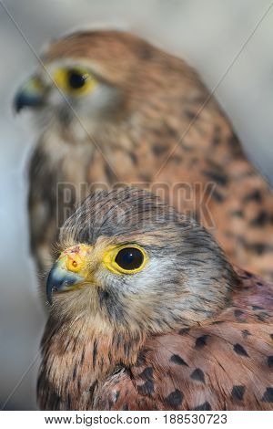 Pair of Common kestrel or Falco tinnunculus focus on the foreground bird close up view against blured background