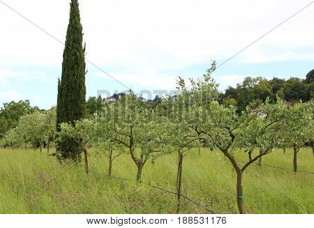 Olive Trees Planted In The European Plain