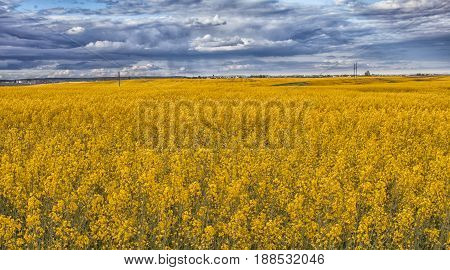 Rapeseed field in bloom. Field of yellow canola in the summer