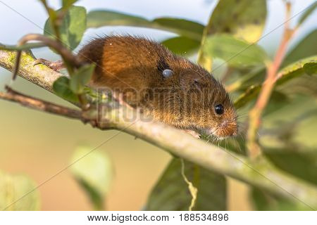 Eurasian Harvest Mouse With Tick