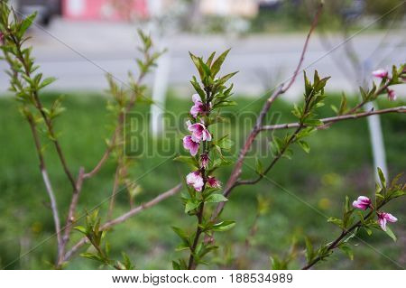 Blossoming cherry tree branch in spring time