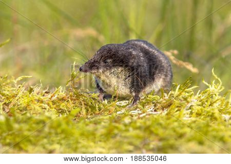 Eurasian Water Shrew In Natural Environment