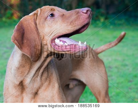 Adult vizsla three quarters view looking to the side