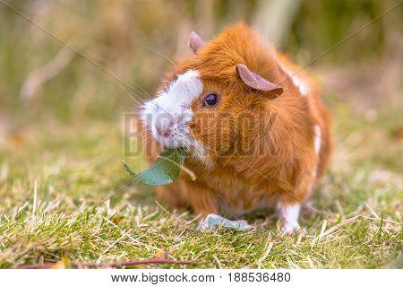 Guinea Pig In Backyard
