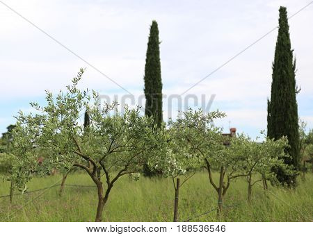 Olive Trees Planted In The Mediterranean Plain