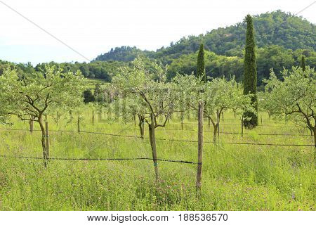Young olive trees planted in summer with hill in background in Italy