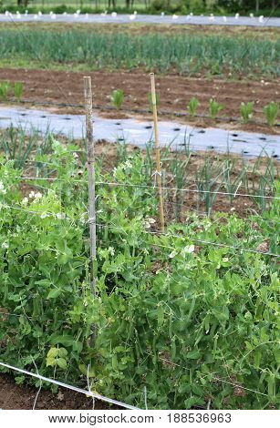 Organic Farming: Green Plant Of Peas