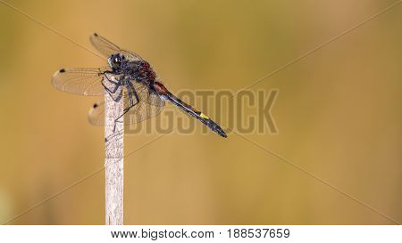 Large White-faced Darter Perched On Reed
