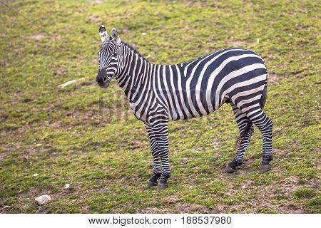 Maneless Zebra Looking In Camera