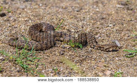 Ottoman Viper