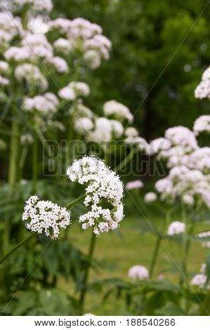 Valerian herb has tiny, fragrant, pale pink flowers.