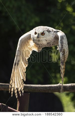 The Eurasian eagle-owl (Bubo bubo) flying. Owl also called European eagle-owl