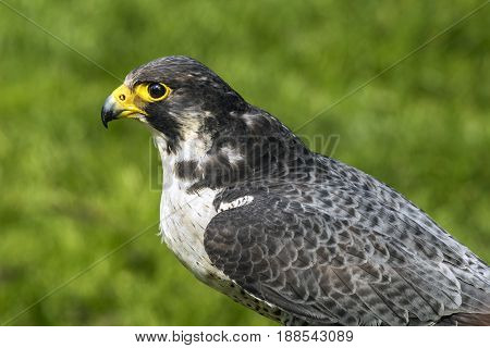 The peregrine falcon (Falco peregrinus) also known as the peregrine and historically as the duck hawk