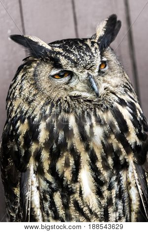 The Eurasian eagle-owl (Bubo bubo) is also called European eagle-owl