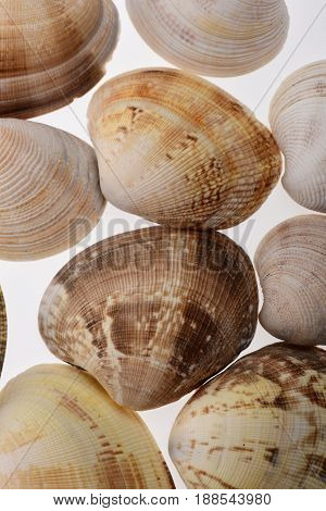 Set Of Clam Mollusk Shell Isolated On White