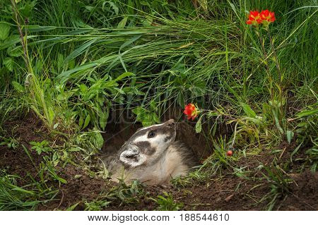 North American Badger (Taxidea taxus) Looks Up at Flower - captive animal poster