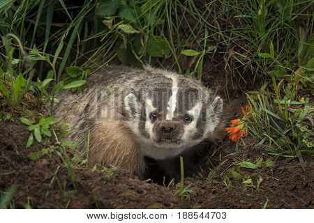 North American Badger (Taxidea taxus) Steps Up Out of Den - captive animal