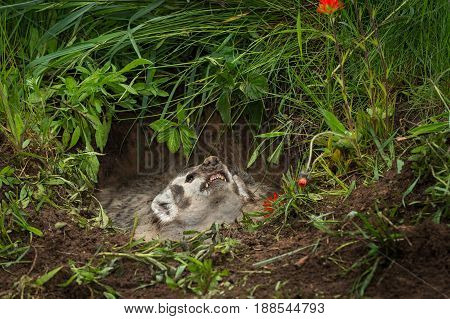 North American Badger (Taxidea taxus) Snarls Up - captive animal