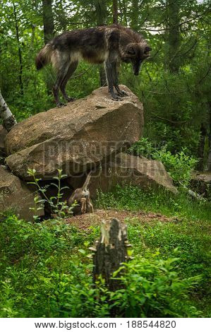Black-Phase Grey Wolf (Canis lupus) Looks Down From Rock - captive animals