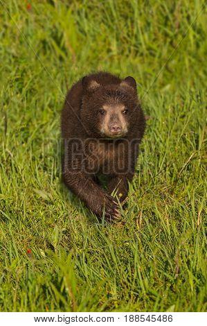 Black Bear Cub (Ursus americanus) Runs Forward Through Grass - captive animal