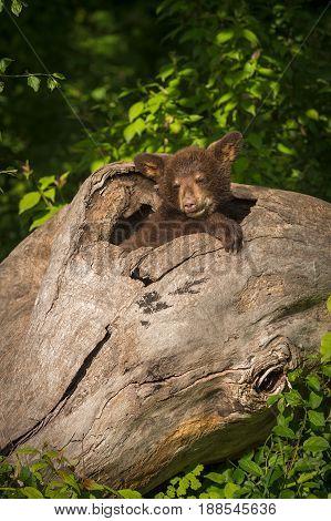 Black Bear Cub (Ursus americanus) Snug in Log - captive animal