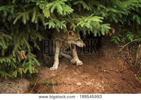 Grey Wolf Pup (Canis lupus) Pants Under Pine - captive animals