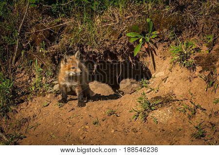 Red Fox Kit (Vulpes vulpes) Looks Right From Den - captive animal