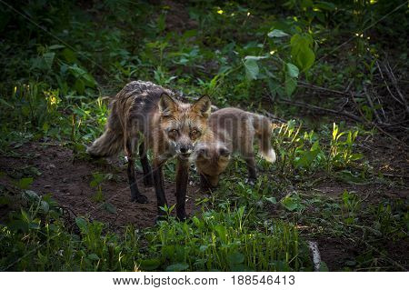 Red Fox Vixen (Vulpes vulpes) and Kit in Woods - captive animals