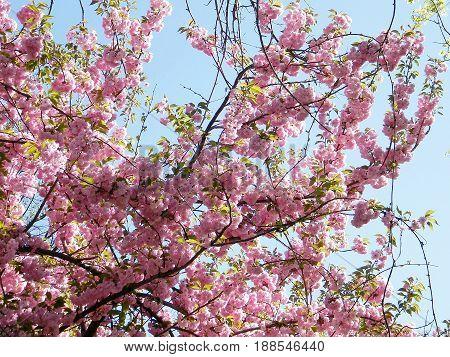 Tysons Corner, USA - April 10, 2010: Sakura blossom.