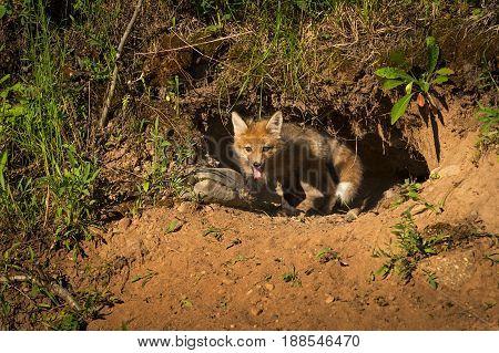 Red Fox Kit (Vulpes vulpes) Crawls Out of Den - captive animal