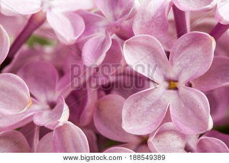 Beautiful spring delicacy lilac flowers. Macro photo.