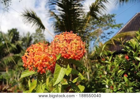red Ixora flowers in tropical garden wit palms