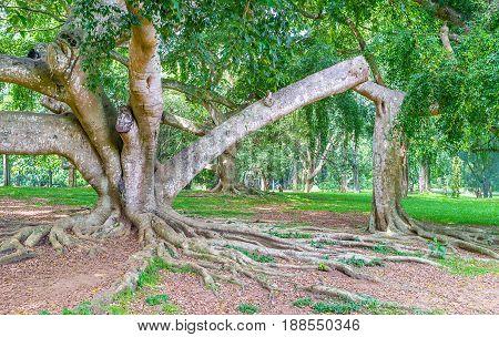 The Ficus Plants