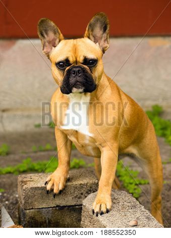 Frenchie canine stands up on some bricks looking at the camera
