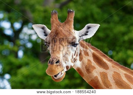 Close-up of a gorgeous giraffes face with blurred trees in the background with a bokeh effect. Giraffe is chewing.