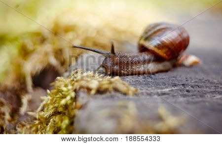 A small brown snail crawling in the environment.
