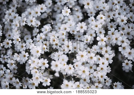 Background of white flowers. Many small flowers. The view from the top.