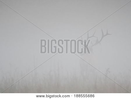 Bull Elk Stands at Attention in Thick Fog with copy space to left