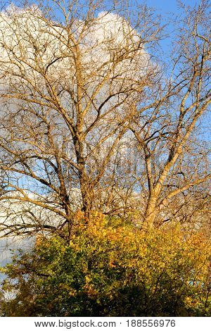 Poplar without leaves autumn at sunny day.